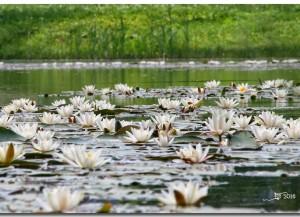 Moderes dīķī zied ūdensrozes